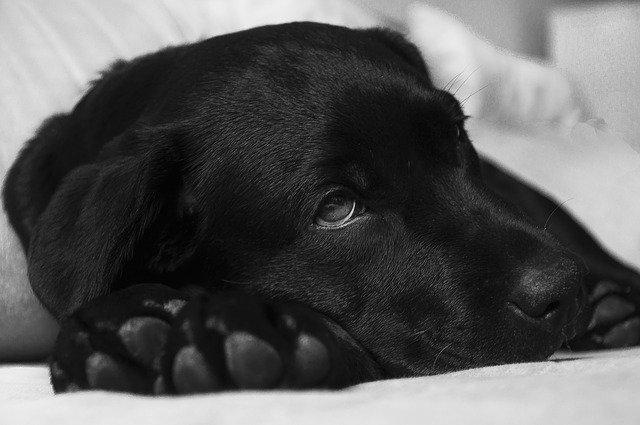 Sick Dog Canine Influenza Outbreak Maryland